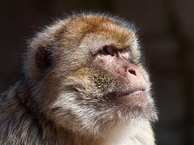 Head of barbary ape